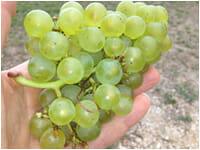 hmv enews winter p3 grapes 200