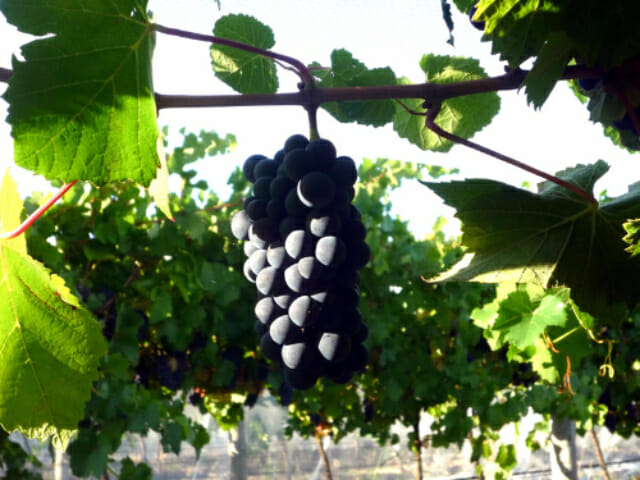 pinot-bunch-waiting-to-be-picked