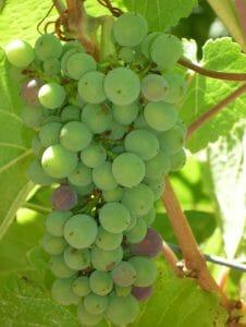 vintage_2013_grapes_3