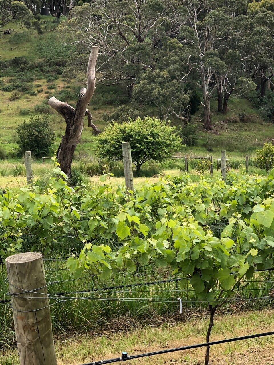 Honey Moon Vineyard Vines